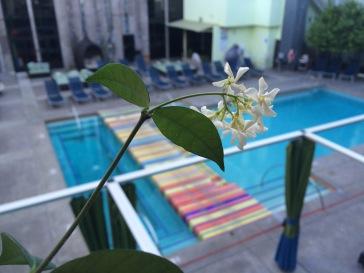 Jasmine overlooking the Clarendon pool