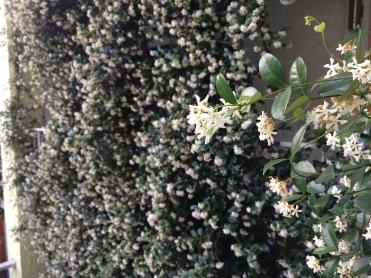 Jasmine and more jasmine