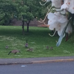 Geese across the street