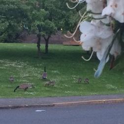Geese across the street