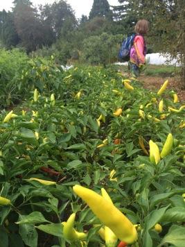 Pepper fields forever