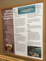 Here's the life cycle of salmon at the Clackamas Hatchery